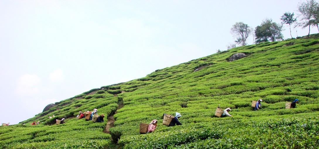 Tea Gardens of Eastern India