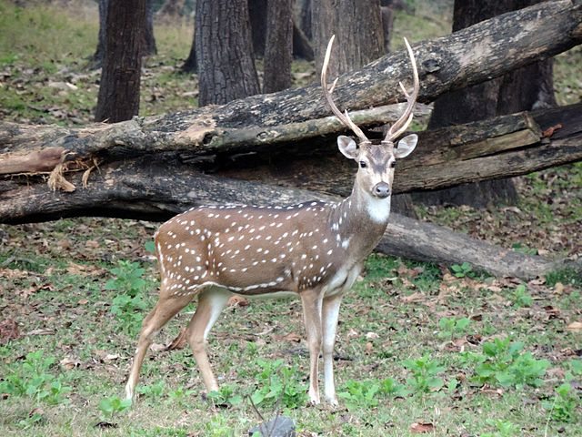 Bandhavgarh National Park Spotted Deer