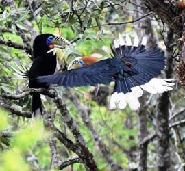 East Sikkim and Mahananda WS Bird Photography Tour
