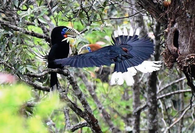 East Sikkim and Mahananda WS Bird Photography Tour
