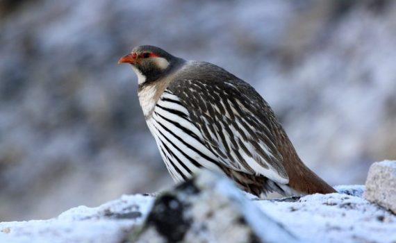 Ladakh Bird Photography Tour